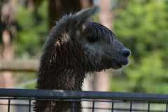 alpaca-wet